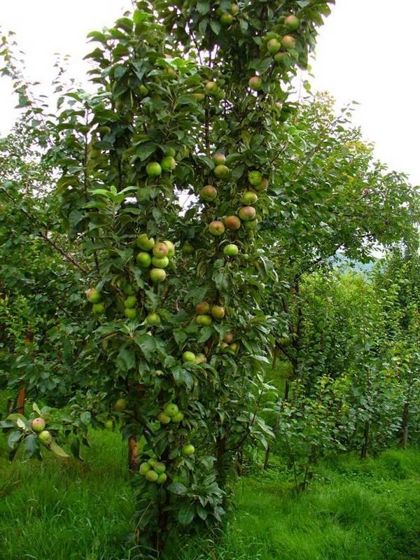 Колоновидные яблони: посадка и уход. сорта колоновидных яблонь с фото