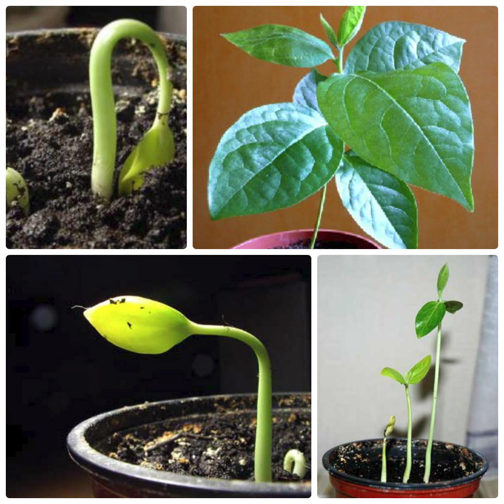 Выращивание хурмы из косточки в домашних условиях и уход за деревом