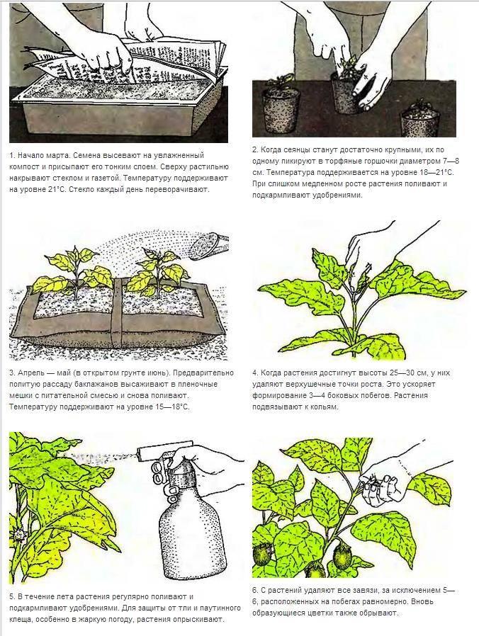 Посадка и выращивание баклажанов в открытом грунте