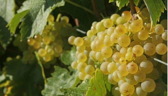 """Виноград """"восторг"""": описание сорта, фото"""