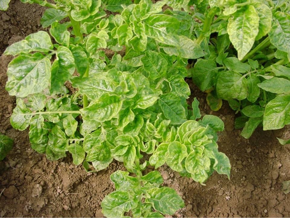 Картофельная ботва как удобрение – в чем ценность