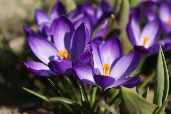 Крокусы - посадка и уход в открытом грунте, как правильно выращивать?