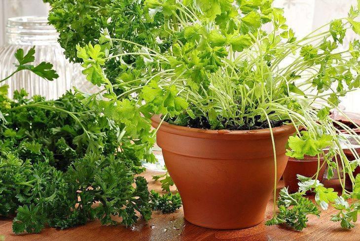 Как посадить петрушку на подоконнике в домашних условиях: особенности выращивания