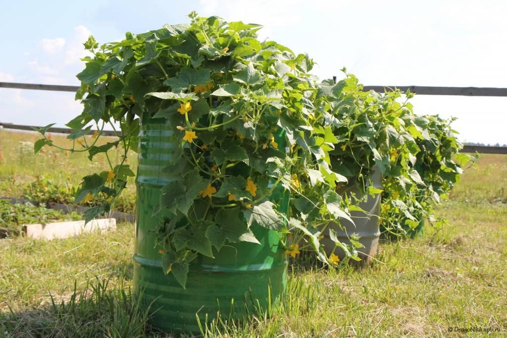 Посев огурцов и кабачков в открытый грунт: когда сажать, как ухаживать