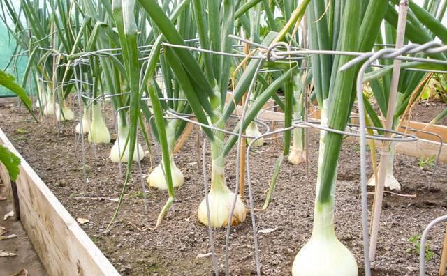 Чем можно подкормить лук чтобы он вырос крупным