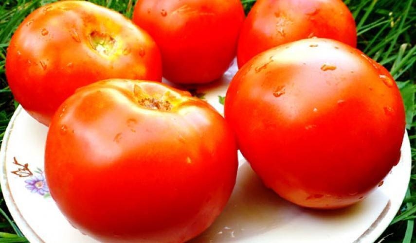 Томат белый налив: описание и характеристика сорта, особенности выращивания и посадки помидоров, отзывы, фото