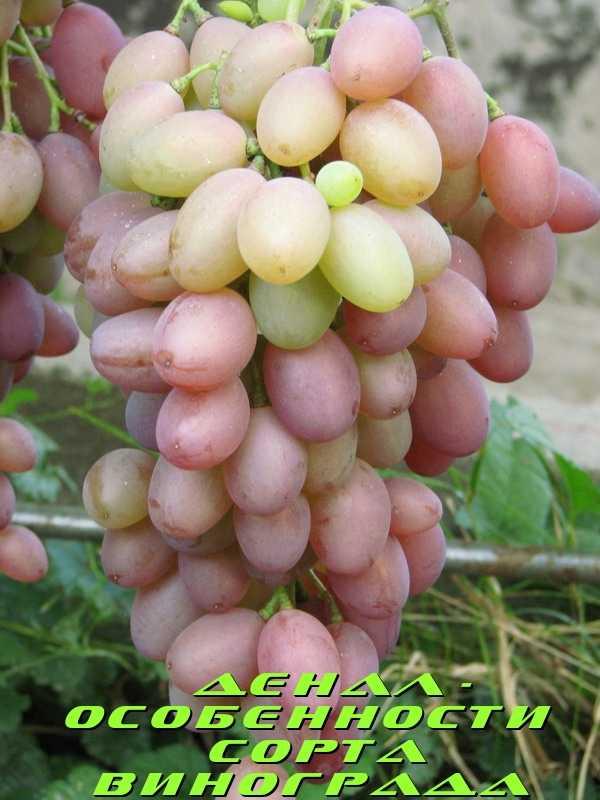 Неукрывные сорта винограда: гибриды американского винограда на supersadovnik.ru