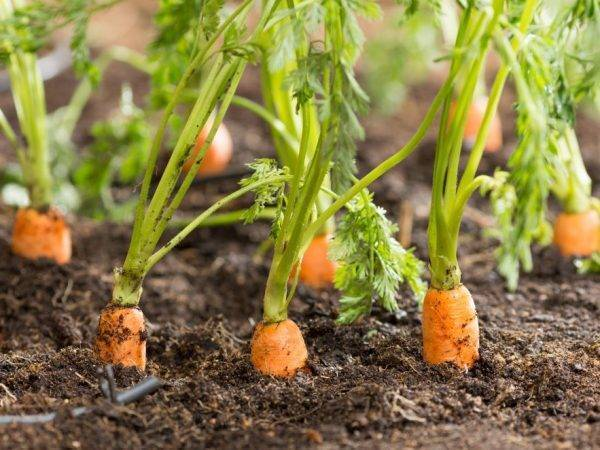 Как проредить морковь на грядке и какие есть способы посадки моркови без прореживания