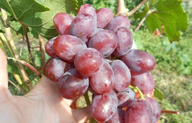 Гибрид крайнова в.н. виноград «благовест»: основные характеристики, описание сорта и фото