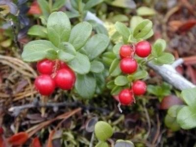 Выращивание брусники в саду на приусадебном и дачном участке посадка и уход в открытом грунте
