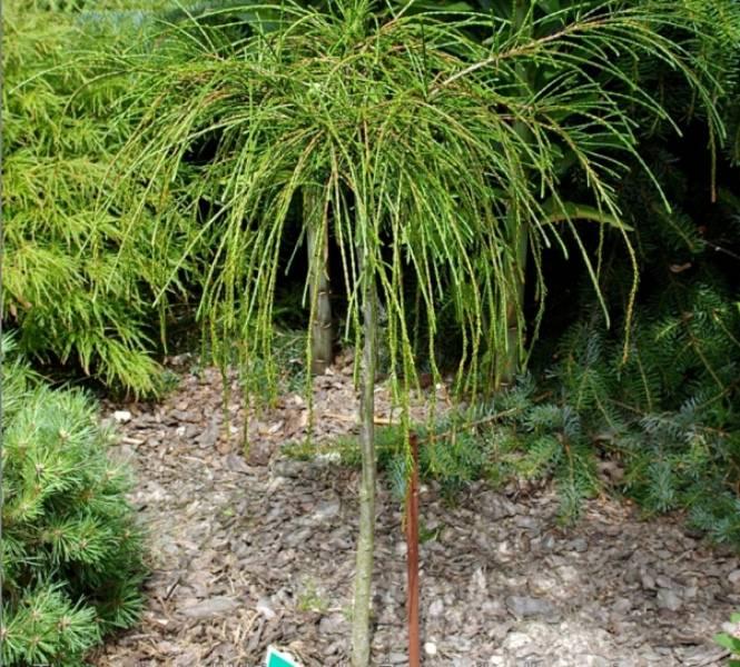 Туя складчатая - разновидности сорта растения, их описание
