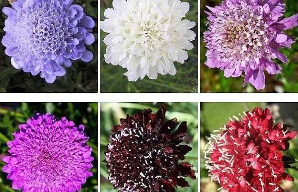Скабиоза - инструкция по выращиванию в саду