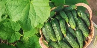 Как выращивать огурцы: подробная инструкция от выбора семян до сбора урожая