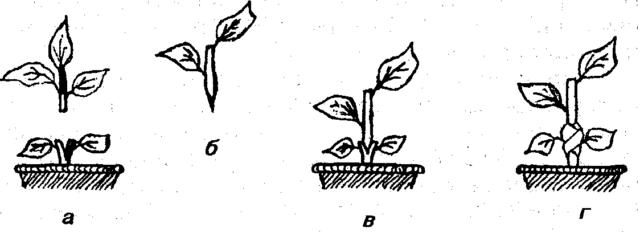 Размножение лимона черенками в домашних условиях: как укоренить и вырастить