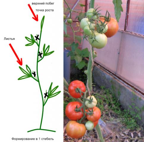Формирование томатов - 115 фото и видео инструкция по правильному уходу за помидорами