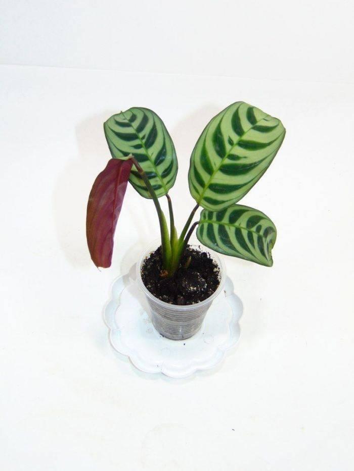 Гребенчатый цветок или ктенанта: уход в домашних условиях, фото и рекомендации по выращиванию декоративного растения