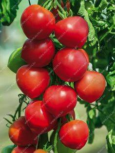 Брахикома: выращивание из семян, посадка и уход в открытом грунте