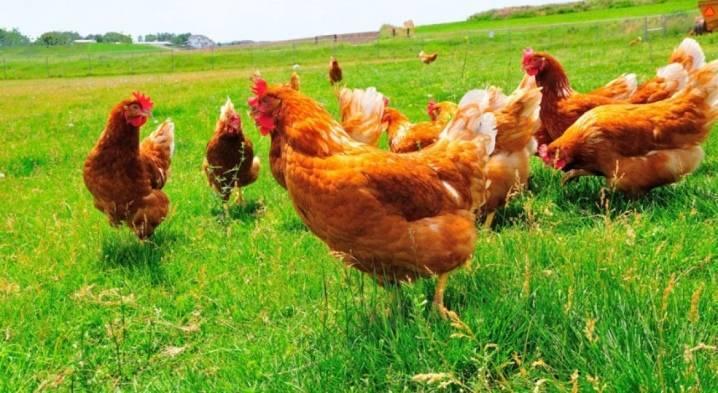 Редбро – кросс, отлично сочетающий высокие показатели яйценоскости и мясной продуктивности