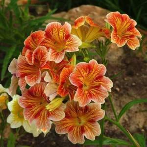 Сальпиглоссис (56 фото): посадка и уход за цветами в открытом грунте, выращивание из семян в домашних условиях, сорта «супербиссима» и «али-баба». когда сажать на клумбе в саду?