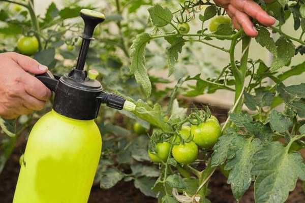 Обработка тепличных помидоров от фитофторы йодом