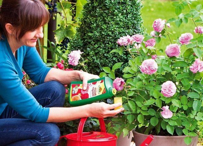 Чем подкормить розы весной и летом для пышного цветения: лучшие удобрения