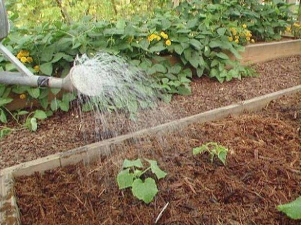 Как правильно поливать огурцы в открытом грунте и в теплице