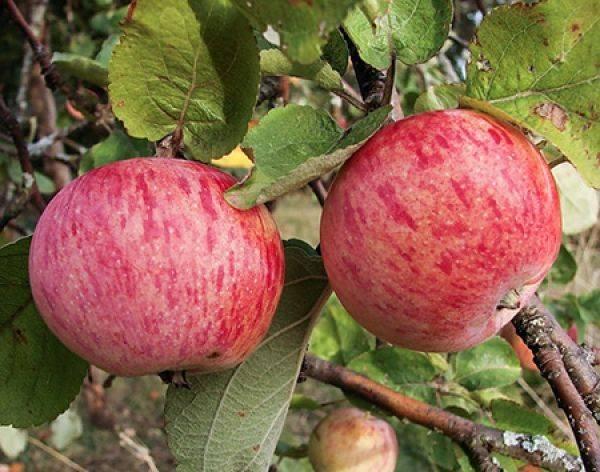 Лучшие сладкие сорта яблони, в том числе для различных регионов, с описанием, характеристикой и отзывами, а также особенности их выращивания