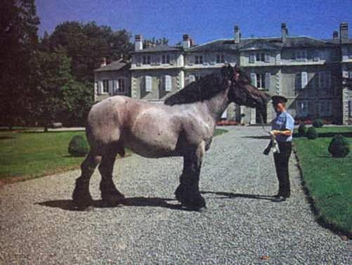 Арденский тяжеловоз. арденская порода лошадей: фото, описание, история происхождения