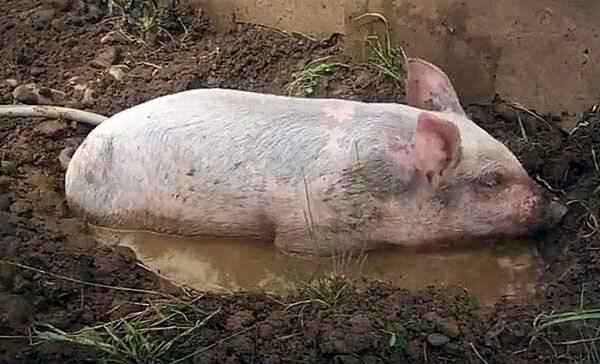 Свиной навоз как удобрение - как правильно применять, польза и вред