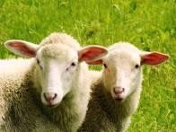 Овцеводство: советы начинающим фермерам по организации бизнеса