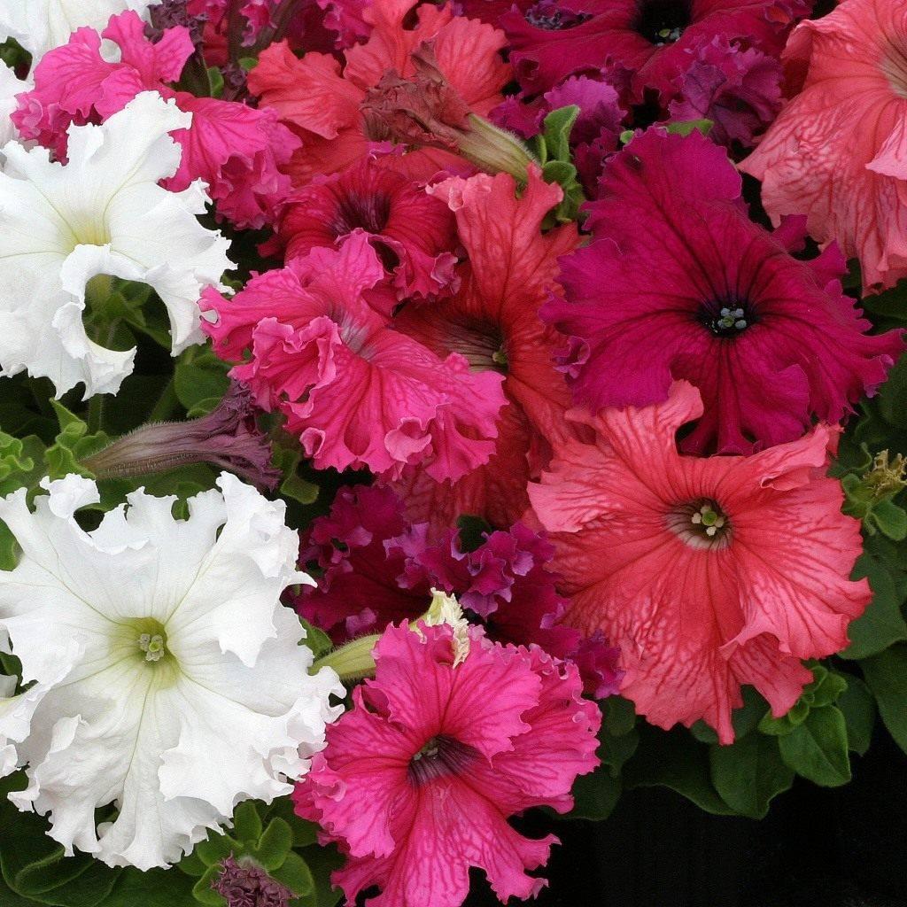 Описание Фриллитунии — гибрид петунии с бахромчатыми цветами