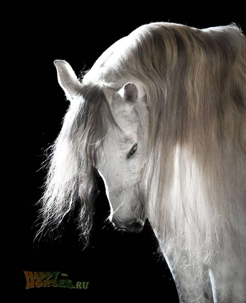 Андалузская лошадь — особенности породы, плюсы и минусы разведения в россии. | cельхозпортал
