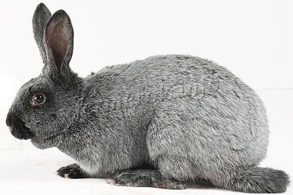 Кролики серебро полтавское: описание породы и характеристика, содержание