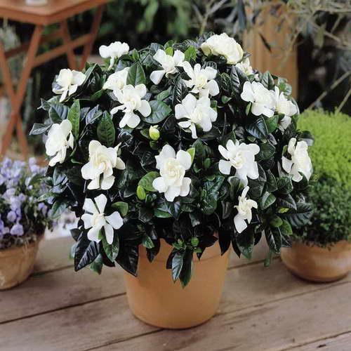 Цветок гардения жасминовидная в домашних условиях, особенности ухода.