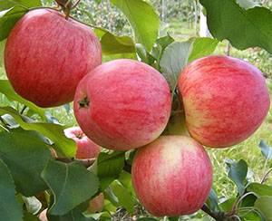 Яблоня малиновка — описание сорта, фото, отзывы