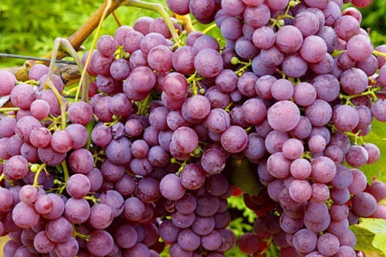 ✅ виноград ранний розовый описание сорта фото отзывы. виноград русский ранний - живой-сад.рф