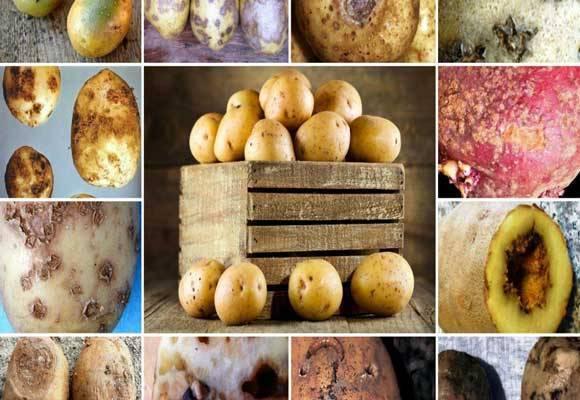 Фитофтороз картофеля | справочник пестициды.ru