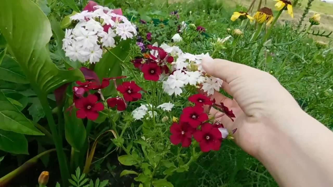 Флокс друммонда: выращивание и уход в открытом грунте.   растюнька