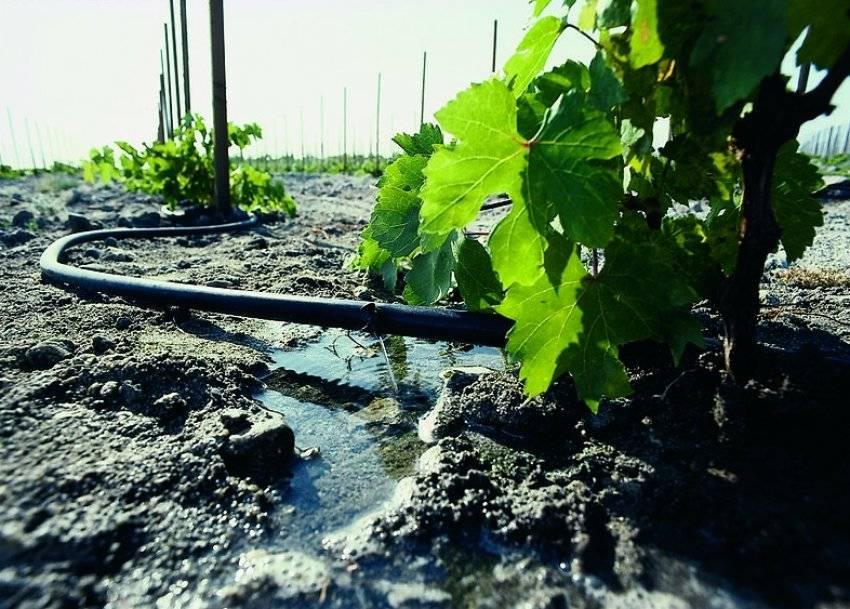 Полив винограда весной и летом: когда и как часто поливать виноград и саженцы подробно с видео