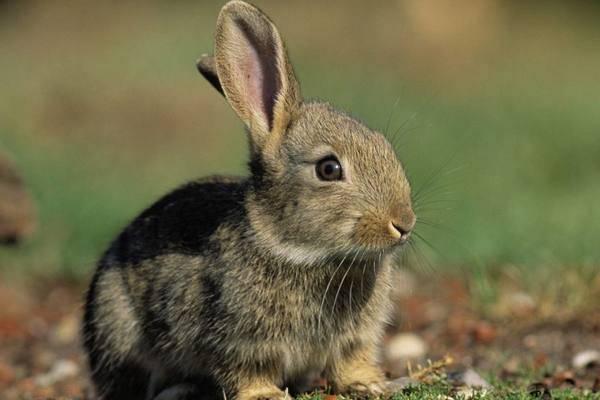 Такие необычные декоративные кролики: интересные факты. фото и видео