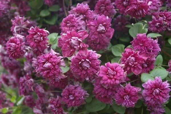Клематис: пурпуреа плена элеганс – особенности ухода