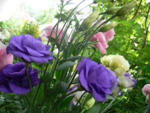 Эустома — выращивание королевы букетов. посадка и уход. фото — ботаничка.ru