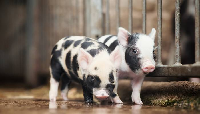 К чему снится свинья с поросятами женщине или мужчине