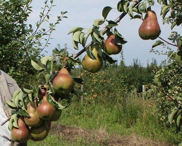 Сорт груши лада – высокие урожаи сочных плодов уже в конце лета