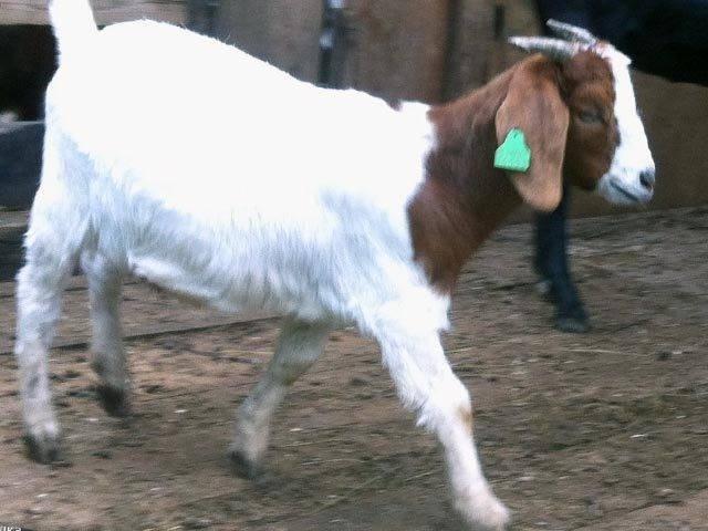 23 мясные породы коз с фото и описанием