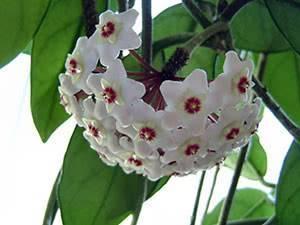 Цветок «Хойя»: сорта с фото, уход в домашних условиях