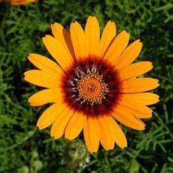 Мшанка шиловидная – посадка и уход, посев семян, выращивание рассады, пересадка в грунт + фото