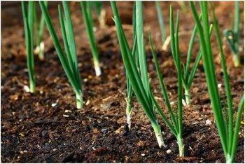 Чем подкормить лук весной, летом и осенью - органические, минеральные, комплексные, народные способы удобрения лука