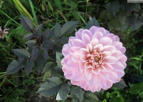 Все, что нужно знать о кактусовых георгинах