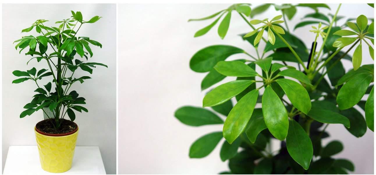 Советы по уходу в домашних условиях за растением «шеффлера бианка»